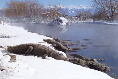 gators-laying-in-snow