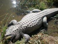 close-up-gator