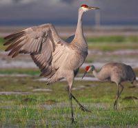 Sandhill-Cranes-dancing