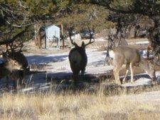 Mule-deer-at-the-Great-Sand-Dunes