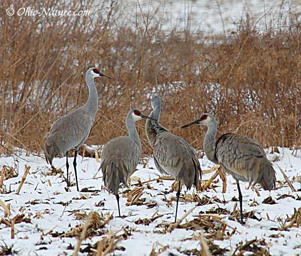 Sandhill-Cranes-in-snow