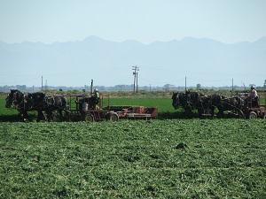Amish-Cutting-Hay