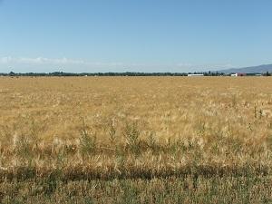Barley-ready-for-harvest