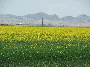 Canola-Field-in-Bloom