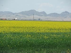 Canola-Field-in-Bloom