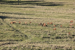 Elk-cows-and-calves