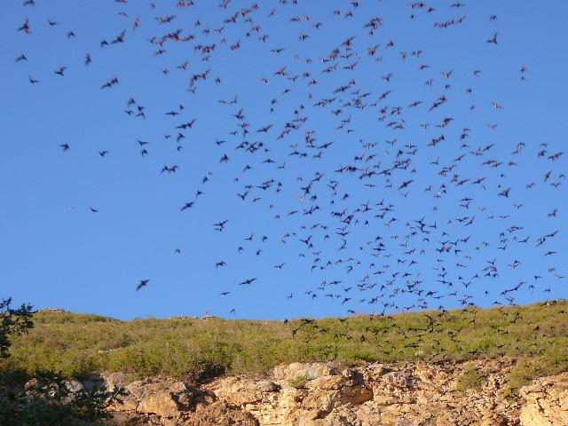 Orient-Mine-Bats-leaving-cave