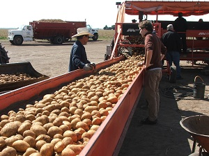 Potatoes-on-conveyor-belt