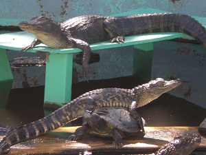 baby-alligators