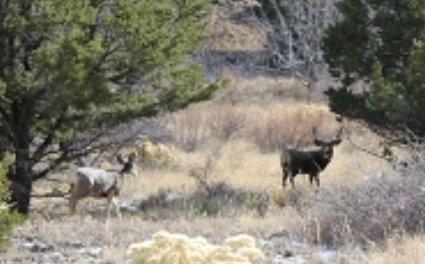 buck-mule-deer