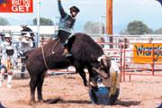 Bucking-bull