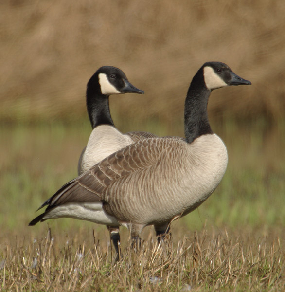 Canadian-Geese