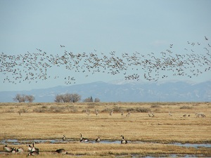 Flying-Sandhill-Cranes