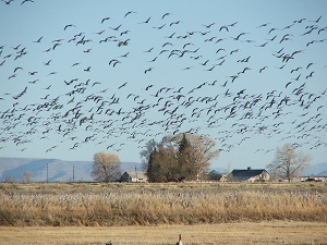 Sandhill-Cranes-in-flight