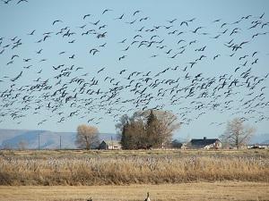 flying-cranes