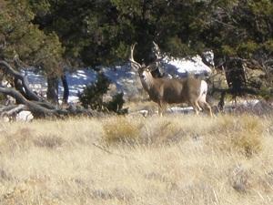 Buck-mule-deer-at-the-Great-Sand-Dunes