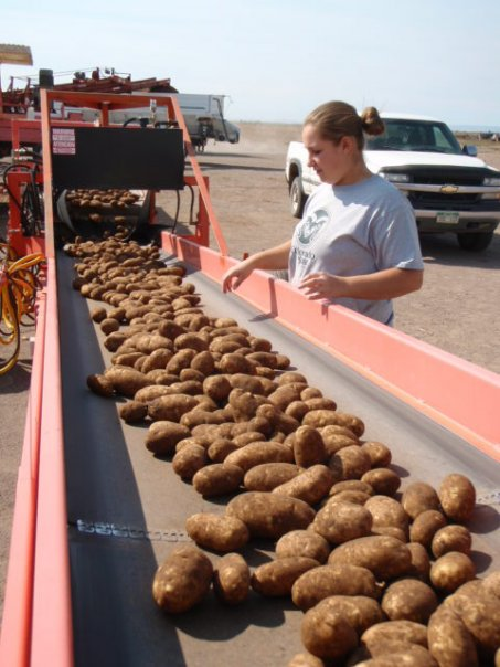 Potatoes-on-piler-to-be-stored