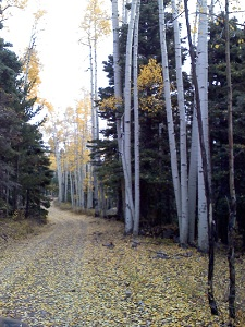 Aspen-trees-in-the-fall