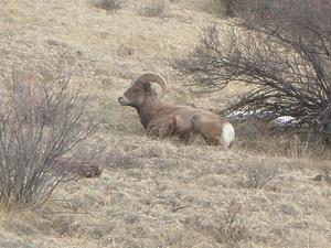 Bighorn-Sheep-Ram