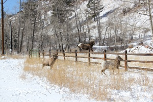 Mountain-Sheep-ram-jumping-a-fence