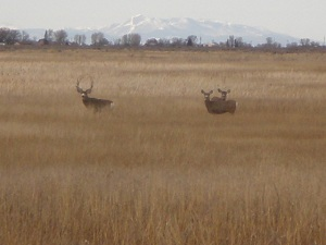 Mule-deer-at-the-Alamsoa-Wildlife-Refuge