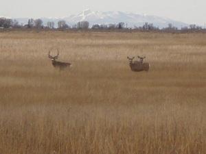 Mule-deer-at-the-Alamsoa-Wildlife-Refuge