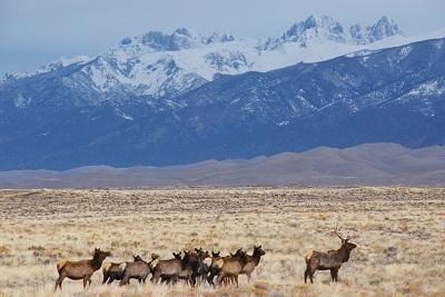 Elk-on-Great-Sand-Dunes