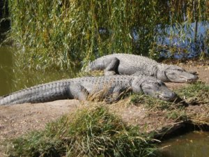 Alligators-in-sun