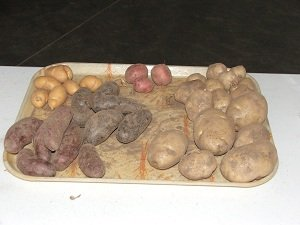 Potato-Festival-potato-types