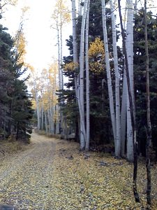 Aspen-trees-in-the-fall
