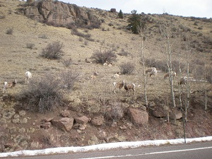 Lots-of-bighorn-sheep