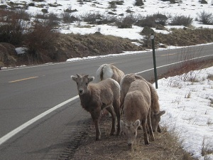 Bighorn-sheep-on-the-road
