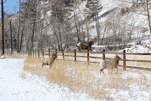 Mountain-Sheep-ram-jumping-a-fence